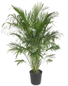 """Delray Plants 10"""" Cateracterum Palm for $29 + pickup at Walmart"""