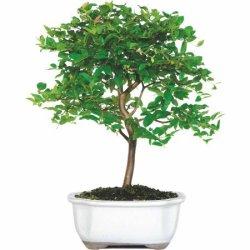 Jaboticaba Bonsai Tree for $28 + pickup at Walmart
