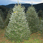6- to 8-Ft. Fraser Fir Christmas Trees