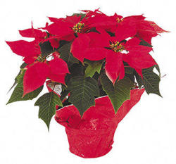 Buy 1, Get 50% off 2nd Holiday Potted Poinsettia